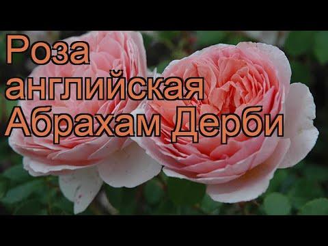 Роза парковая Абрахам Дерби (rose abraham darby) 🌿 обзор: как сажать, саженцы розы Абрахам Дерби