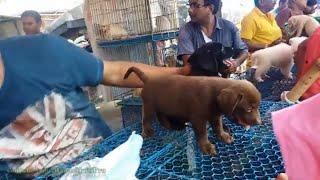 Golden Labrador Dog Price In Kolkata