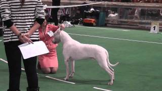 "dogoargentino, mono show ""Derzhava 2010"", Best junior, and adult male"
