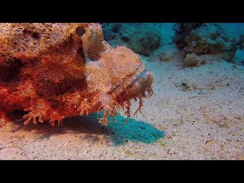 Tasseled Scorpionfish with Go Pro (Dahab - Eel Garden)