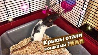 🐀Перестановка в клетке у крыс 🐀