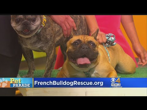 Pet Parade: French Bulldog Rescue Network