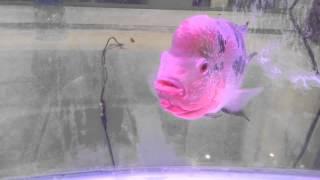 Pink colour fish aquarium swimming moving