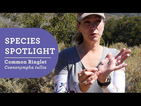 Species Spotlight: Common Ringlet Butterfly w/ Elizabeth Long