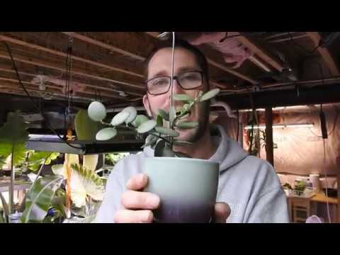 Transplanting Silver Dollar Vine - Oh Yay!!  New Growth!!