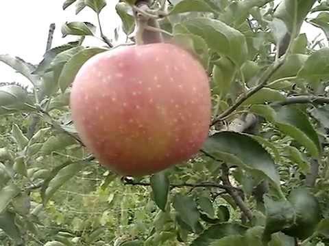 Сорт яблони Гала Маст 2015