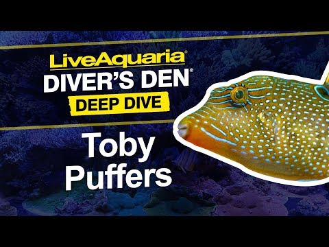 LiveAquaria® Diver's Den® Deep Dive: Toby Puffers (Canthigaster Sp.)