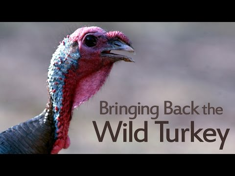 Caney Mountain Turkey Restoration Story