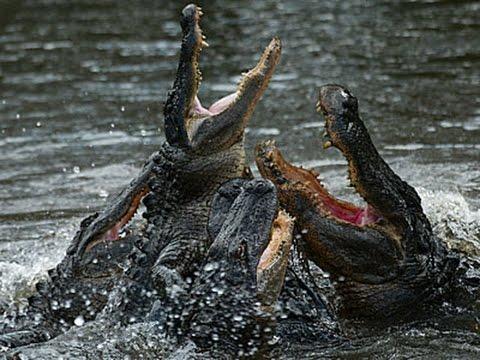 Alligators and Crocodiles ~ Reptile Documentary