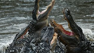 Alligators and Crocodiles ~ Reptile Documentary