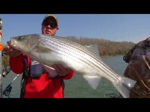 Stripers on Lake Cumberland