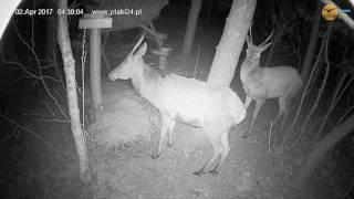 Dwa śliczne jelenie szlachetne w karmisku dla zwierząt w lesie