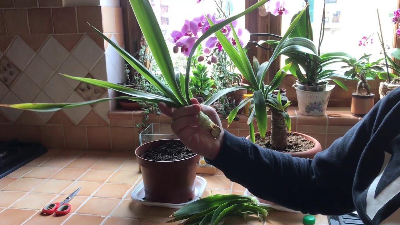 Pianta Tronchetto Della Felicità Potatura come moltiplicare la yucca