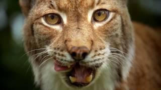 Die Welt der Raubkatzen - Trailer [HD] Deutsch / German