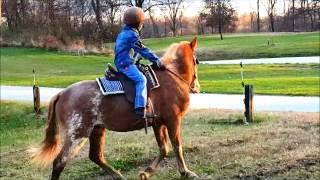 "SOLD ""Romeo"" 13 hand Sorrel Sabino Paint Horse Gelding Beginner Broke"