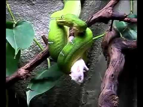 con rắn xanh đang ăn con chuột bạch