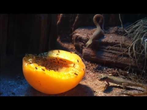 Tropiocolotes tripolitanus  ...und die Aprikose