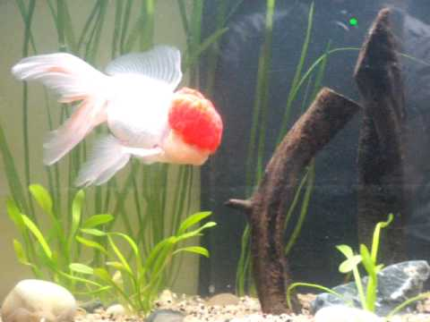Nouvel aquarium voile de chine et oranda youtube for Aquarium 30l combien de poisson rouge