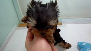 Tiniest Micro Teacup Yorkie Puppy Cutest Little Girl 2