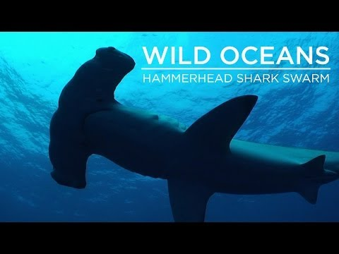 Hammerhead Shark Swarm