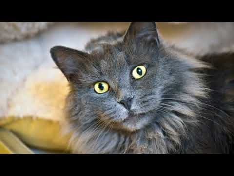 Nebelung - cat breed