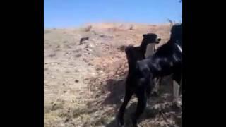 Собачий бой  Бойка