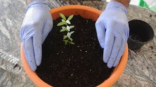 How to Grow a Pomegranate Tree from Seed! 1st Update: Repotting!