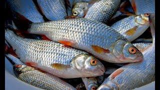 Отличная весенняя рыбалка на Севере. Крупная плотва и налим.