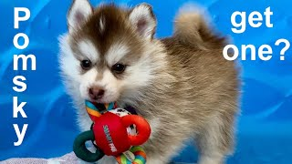 Is a Pomsky the right dog for you?   A Pomsky 101 video, from cute puppy to adult Pomsky