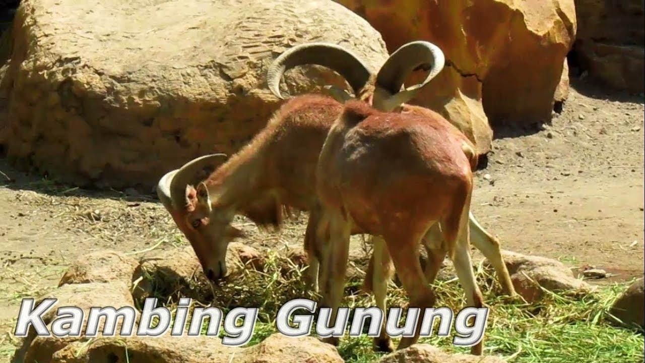 Kambing Gunung Mountain Goat At Kbs Surabaya Youtube 3137b91d34