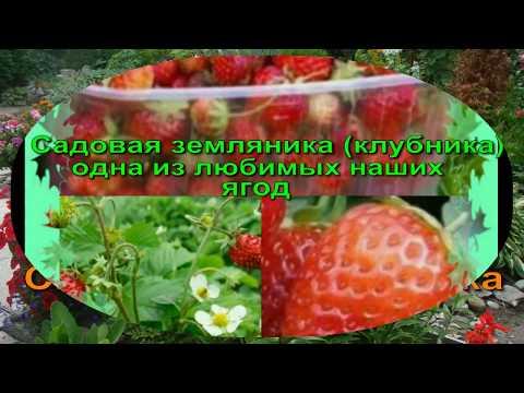ЗЕМЛЯНИКА В СИБИРИ От посадки до урожая Сибирская Мини Дачка