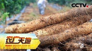 《农广天地》 20190520 醋糟养肉牛 窖藏长山药| CCTV农业
