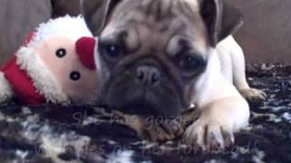 "Pug Puppies For Sale ""veto Height's Ohio Akc Pugs"" Beautiful Madison!"