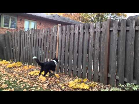 Lola the English Shepherd Goes After a Squirrel