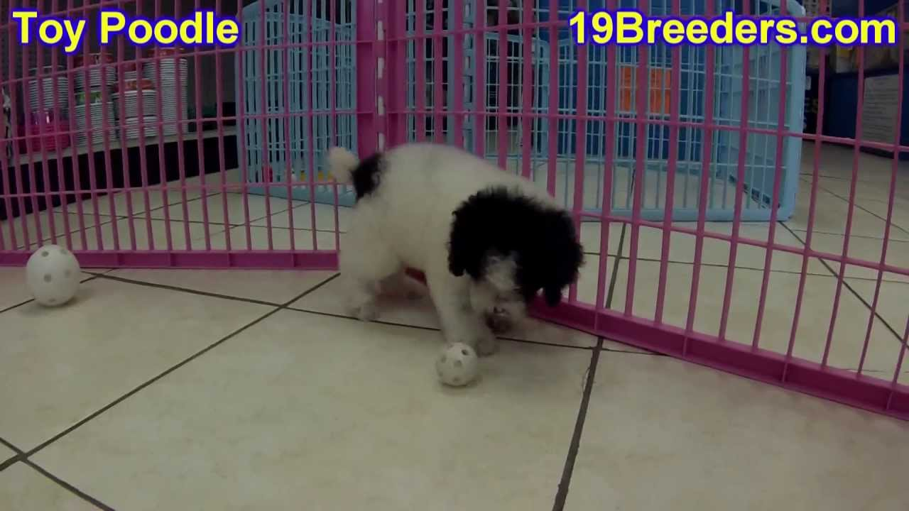Toy Poodle, Puppies, For, Sale, In, Billings, Montana, MT, Missoula, Great  Falls, Bozeman