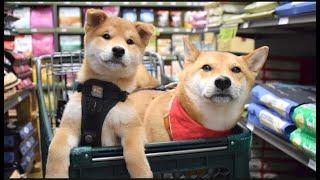 带柴犬兄弟逛宠物超市 小柴犬激动地四处乱看 大狗:真幼稚!