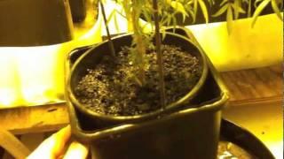 Drowning marijuana plants before harvest