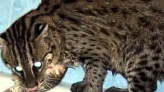 «Виверровый кот-рыболов»?