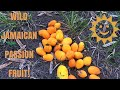 Foraging Wild Jamaican Passion Fruit In Hawaii mp3