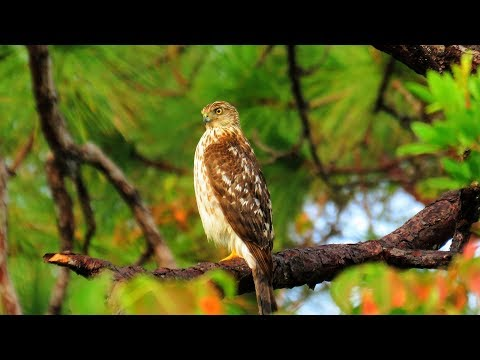 Cooper's Hawk - Blue Jays and Squirrels Sound Panic Alarm!