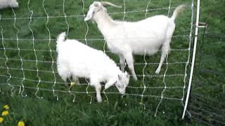 Training Goat Kids On The Electric Fence.
