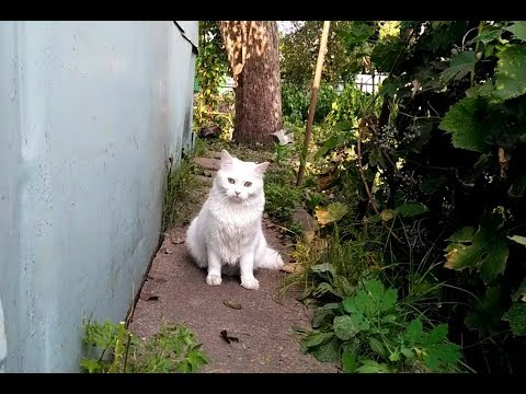 Turkish angora cat is watching the ducks