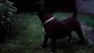 Staffordshire Bullterrier Cross Pit Bull Terrier Pround & Respect