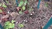 Обрезка смородины - YouTube