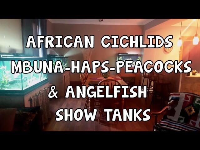 AFRICAN CICHLIDS ?MBUNA ? HAPS & PEACOCKS ?ANGELFISH ?SHOW TANKS
