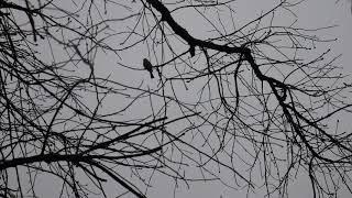 Просто маленькая птичка .Синица хохлатая (гренадёр)