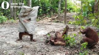 Hilarious orangutan does everything to get his friends attention