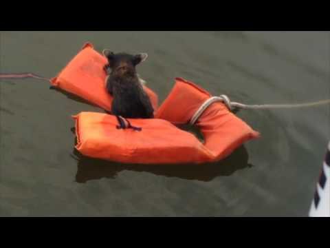 Rescuing Rocky Raccoon in Swann Creek