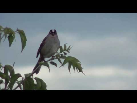 Various birds filmed in NW Calgary