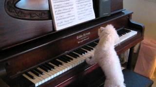 ピアノを演奏するトイプードル、演奏だけじゃなく歌まで…歌っちゃうワン♪